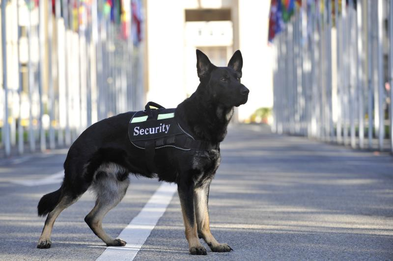 Nero, the dog of the United Nations Security prepared for the Geneva detection of explosives and firearms.